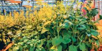 Integrated management advised for clubroot